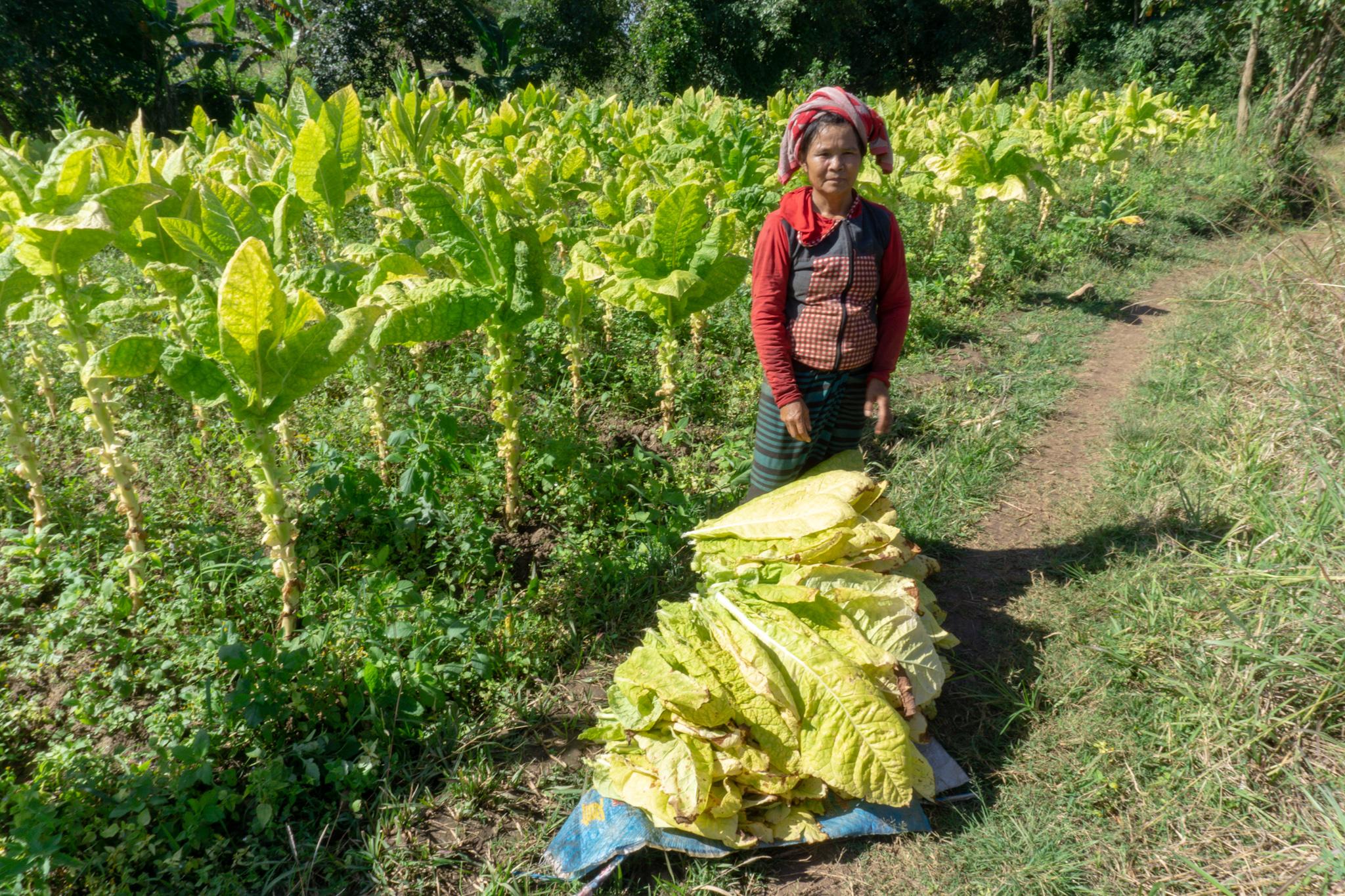 Frau bei der Ernte in Myanmar