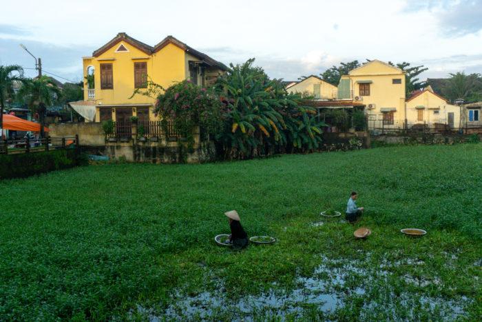 Reisernte mitten in Hoi An