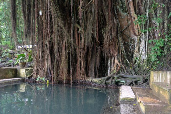Century Old Balate Tree