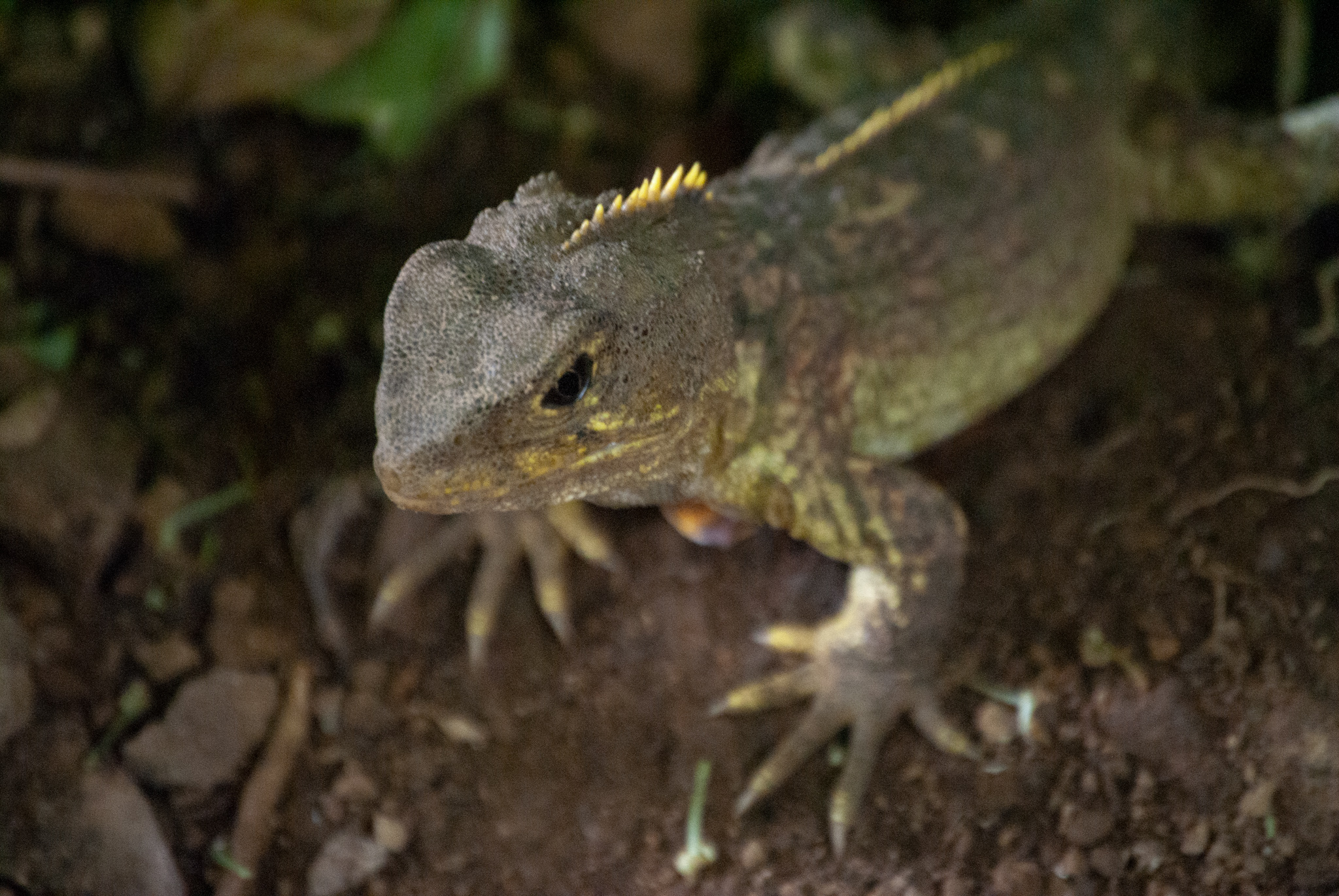 Echse im Zealandia Naturschutzreservoir