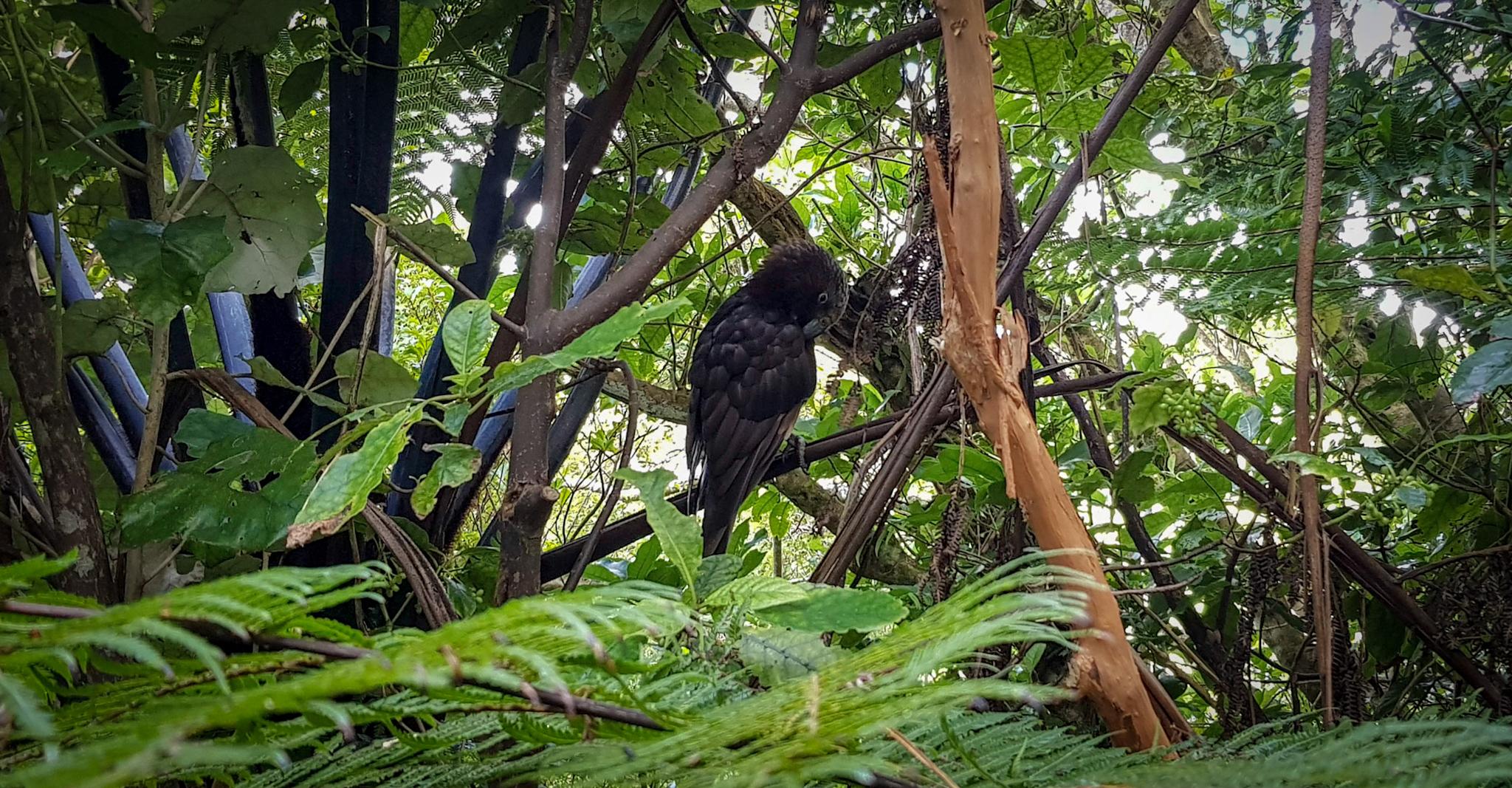 Vogel im Zealandia Naturschutzgebiet