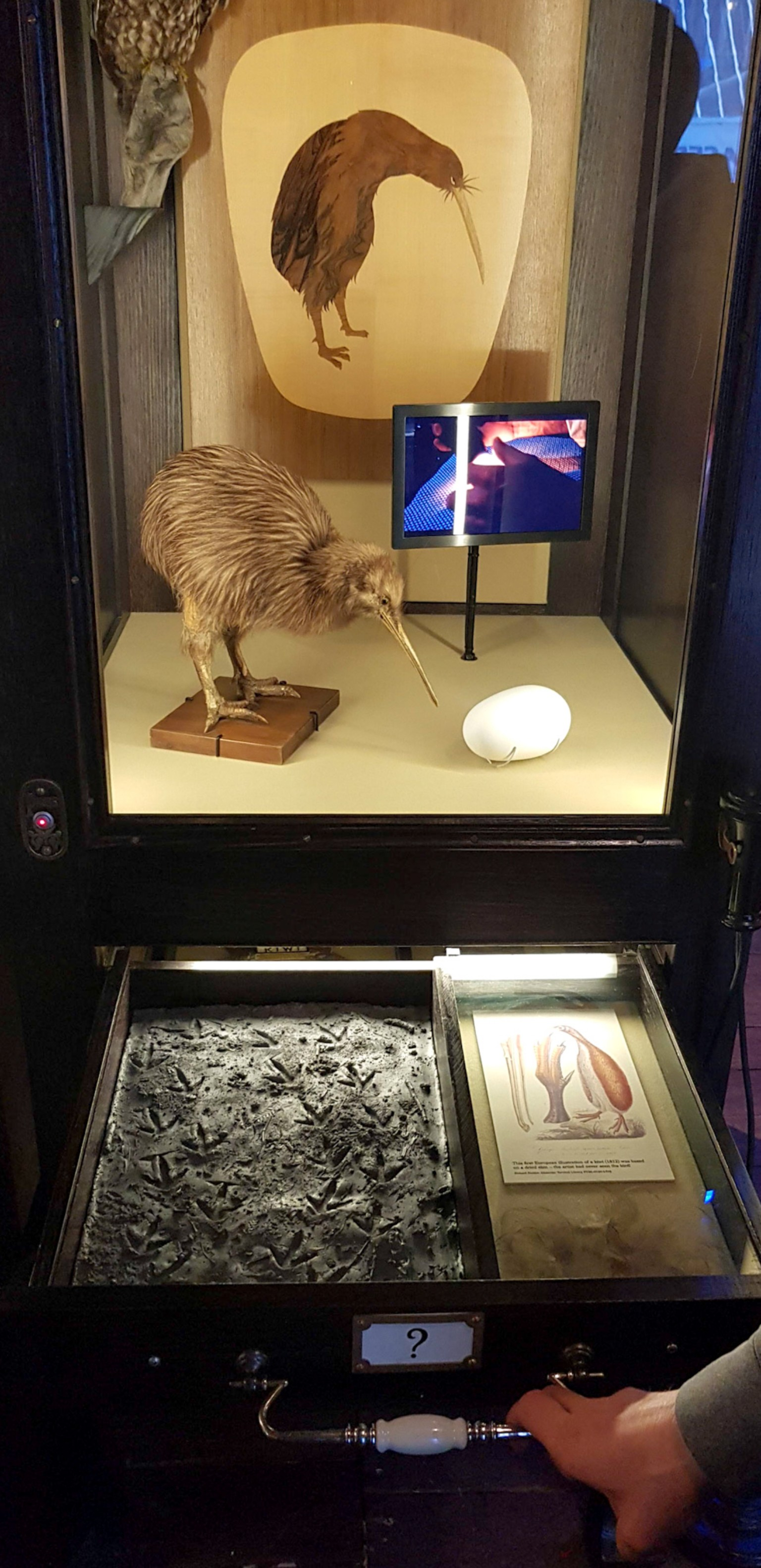 Wellington Museum - Kiwi